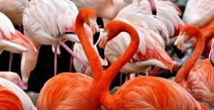 Endangered species, flamingos captured.