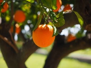 Oranges hanging from the tree.