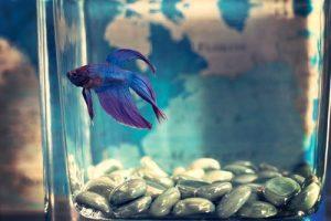 a blue fish inside a fish tank