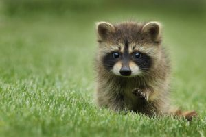 A baby racoon